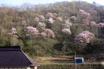 戸赤の山桜2