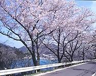 チェリーロード 桜