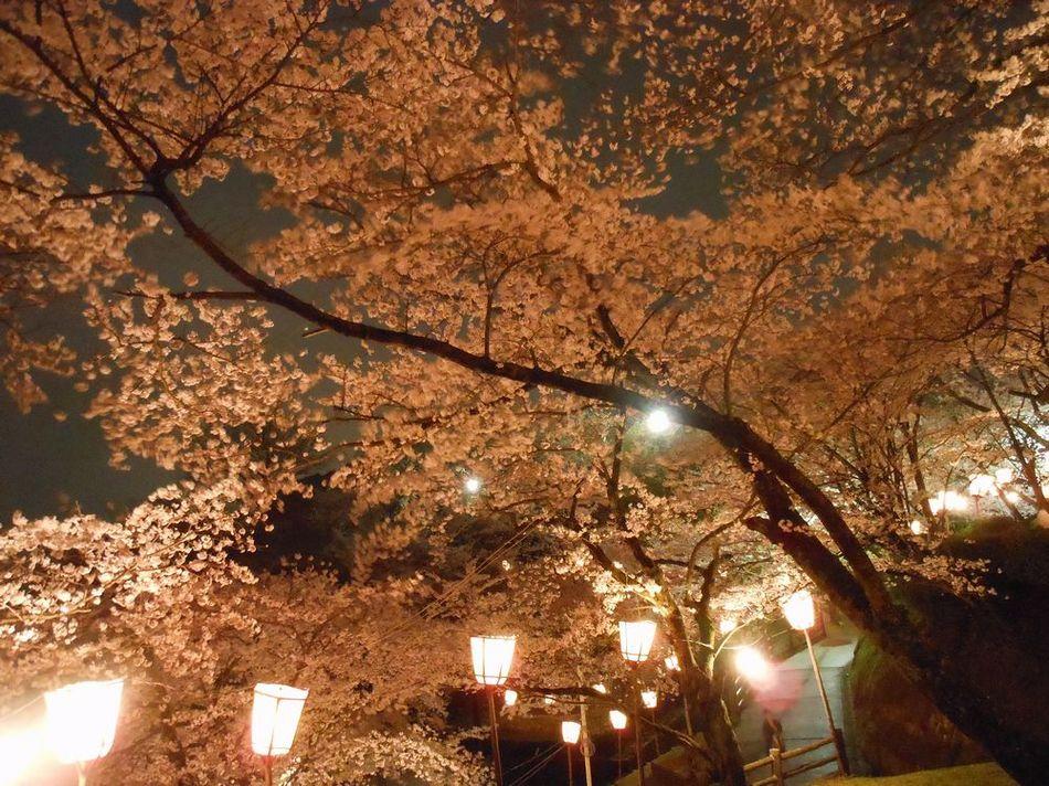 社日公園の夜桜