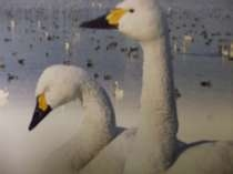 冬の使者小白鳥