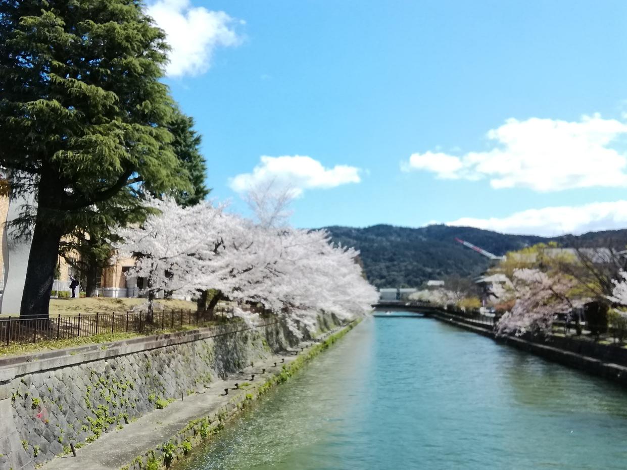 京都、春の桜です。