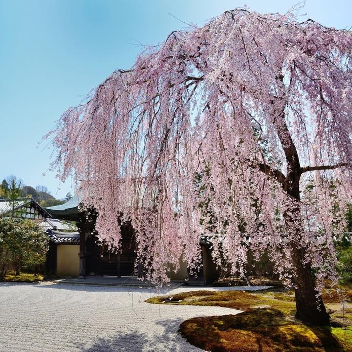 【京都観光】桜の名所しだれ桜といえば「高台寺」