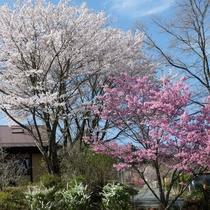 春は庭に桜が咲きます。種類の違う桜が植えてあります。