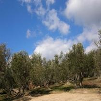 オリーブの丘