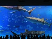 沖縄を代表する人気スポット「沖縄美ら海水族館」悠々と泳ぐジンベイザメたち