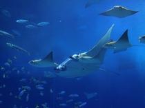 飛ぶように泳ぐマンタとトビエイの群れ「沖縄美ら海水族館」【車で約110分】