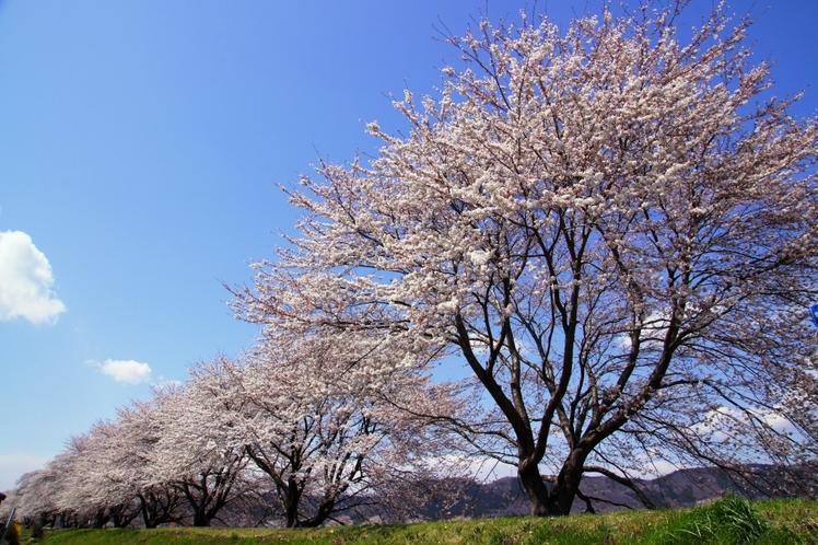 日本さくら100選「白石川堤一目千本桜」「柴田船岡城址公園の桜」