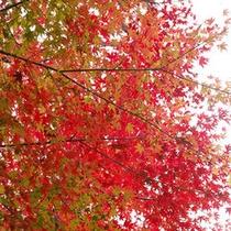 兆楽の紅葉