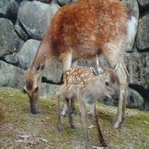 宮島に生息する野生の鹿