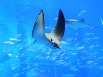 沖縄を代表する人気スポット「美ら海水族館」大きなトビエイ
