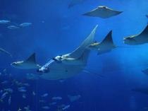 沖縄を代表する人気スポット「美ら海水族館」大きなオニイトマキエイ(マンタ)