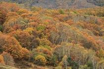峰の原の紅葉は10月中旬が見頃です