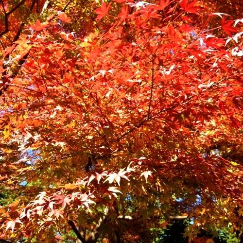 【Autumn】強羅の紅葉
