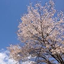 【Spring】桜