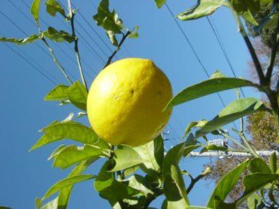 庭のレモンです