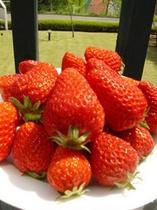 伊豆韮山町・植松さんの育てたイチゴ「べにほっぺ」