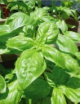 バジルなど、自家菜園のハーブも使います。