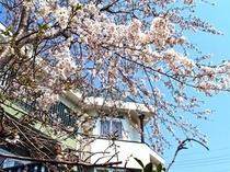 アルシオンの庭より 桜