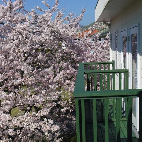 アルシオン 桜満開時
