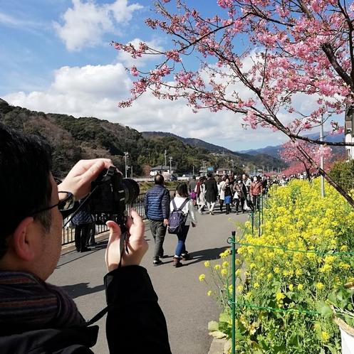 河津桜まつり 撮影