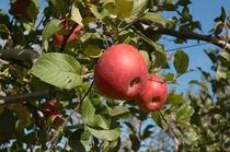 りんごの木3