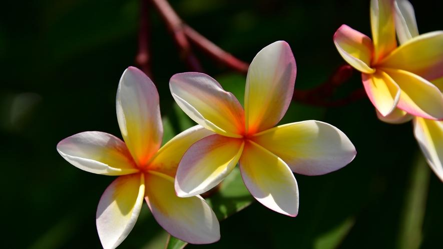 リゾート内のお花
