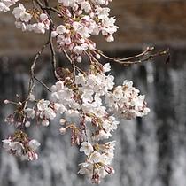 【絶景の宿】春の桜◆毎年桜の季節には、姉妹館「游月山荘」ロビーにて「夜桜バー」開催します♪