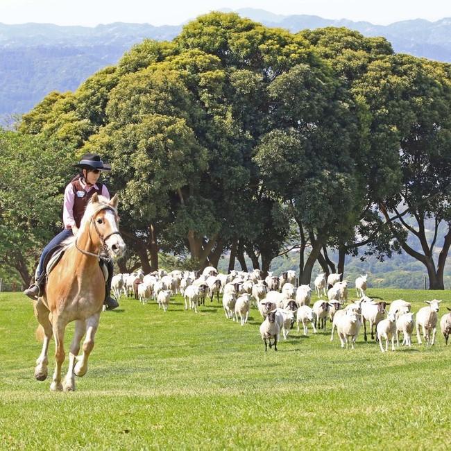 マザー牧場羊の放牧