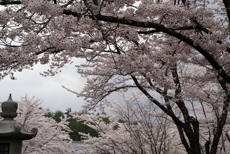 聖光寺の千本桜