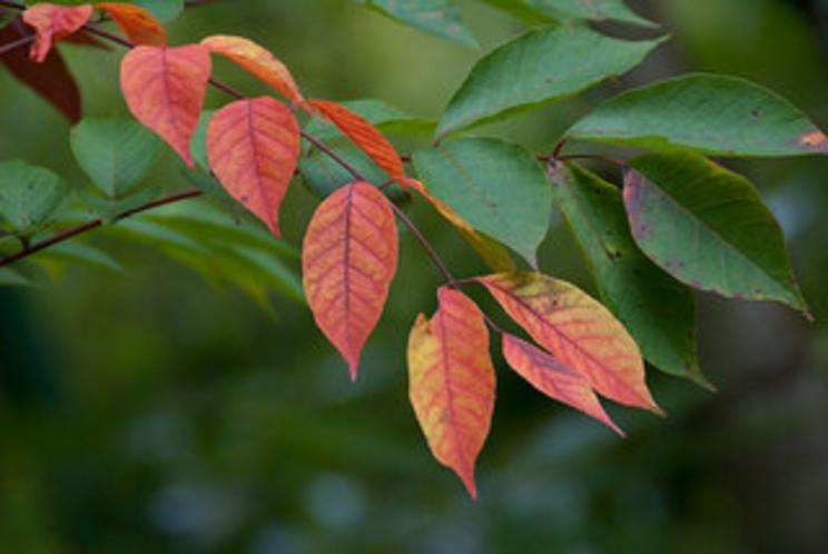 9月、ナナカマドの紅葉
