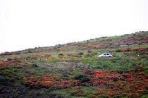 霧ヶ峰のレンゲツツジ(2)