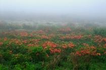 霧ヶ峰のレンゲツツジ群生・6月(2)
