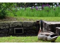 小石川後楽園ではカモが見れるカモ?