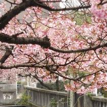 観光◆糸川沿いに咲く早咲きの桜(1月中旬~2月)