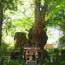 観光◆来宮神社の大楠はパワースポット