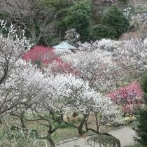観光◆熱海梅園の梅(1月~3月上旬)