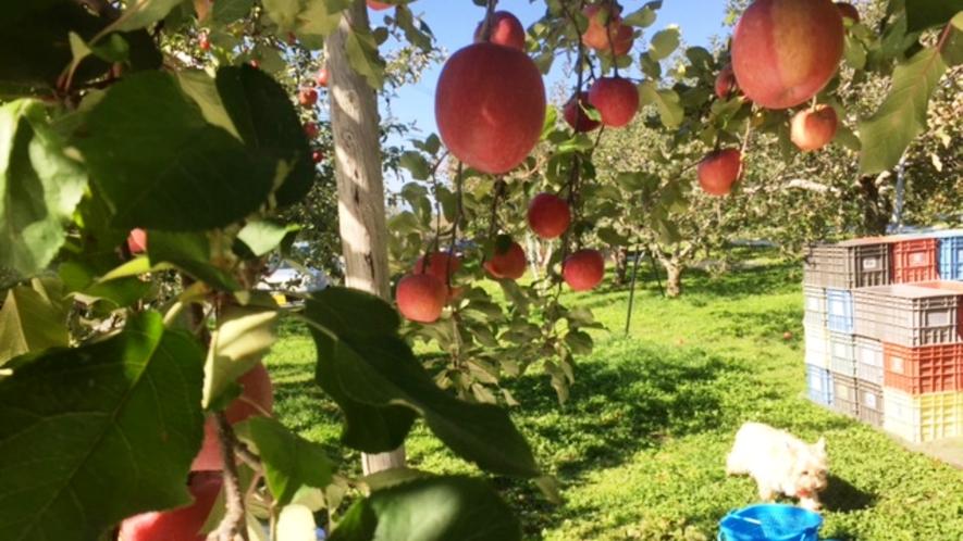 ワンちゃんと一緒に指定農園でリンゴ狩り♪
