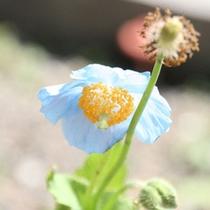 白馬五竜高山植物園◆ヒマラヤの青いケシ