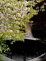 【御殿守・歳時記】桜吹雪と不忘の湯