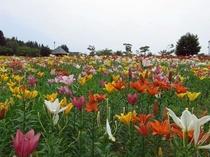 【飯豊・観光情報】飯豊どんでん平ゆり園は東日本最大級のゆり園(当館より35分)花の見頃は6月~7月