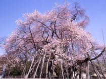 【置賜さくら回廊・伊佐沢の久保桜】車で30分程、国の天然記念物に指定された樹齢約千二百年の桜