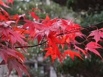 晩秋になると苔庭の紅葉