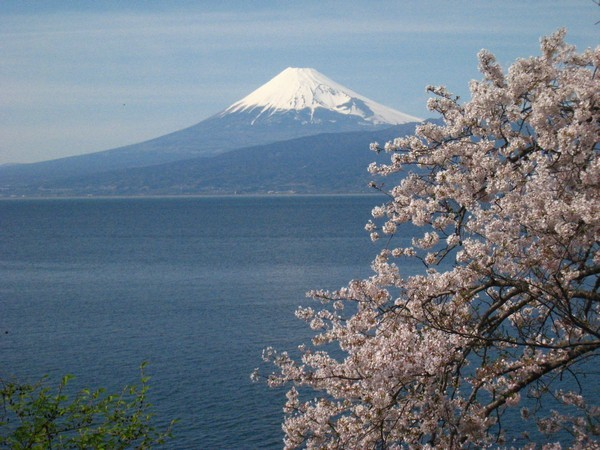 桜の花と富士山