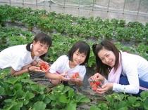 自家農場での苺摘み