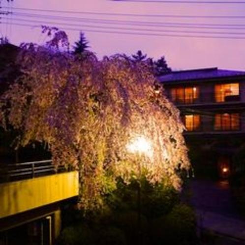 さくら亭の夜桜 2