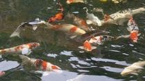 ラウンジ「楽茶茶」に面する水槽には、多くの「錦鯉」が