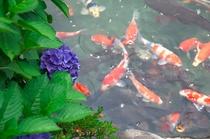 紫陽花と錦鯉のコラボです