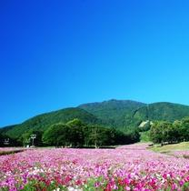 【旬花咲く 黒姫高原】ダリア園・コスモス園