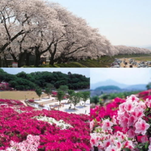 桜とつつじ