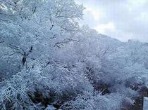 早朝の雪樹。
